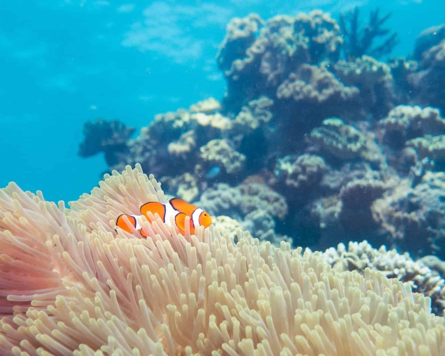 An orange clown fish in an anemone on the Great Barrier Reef