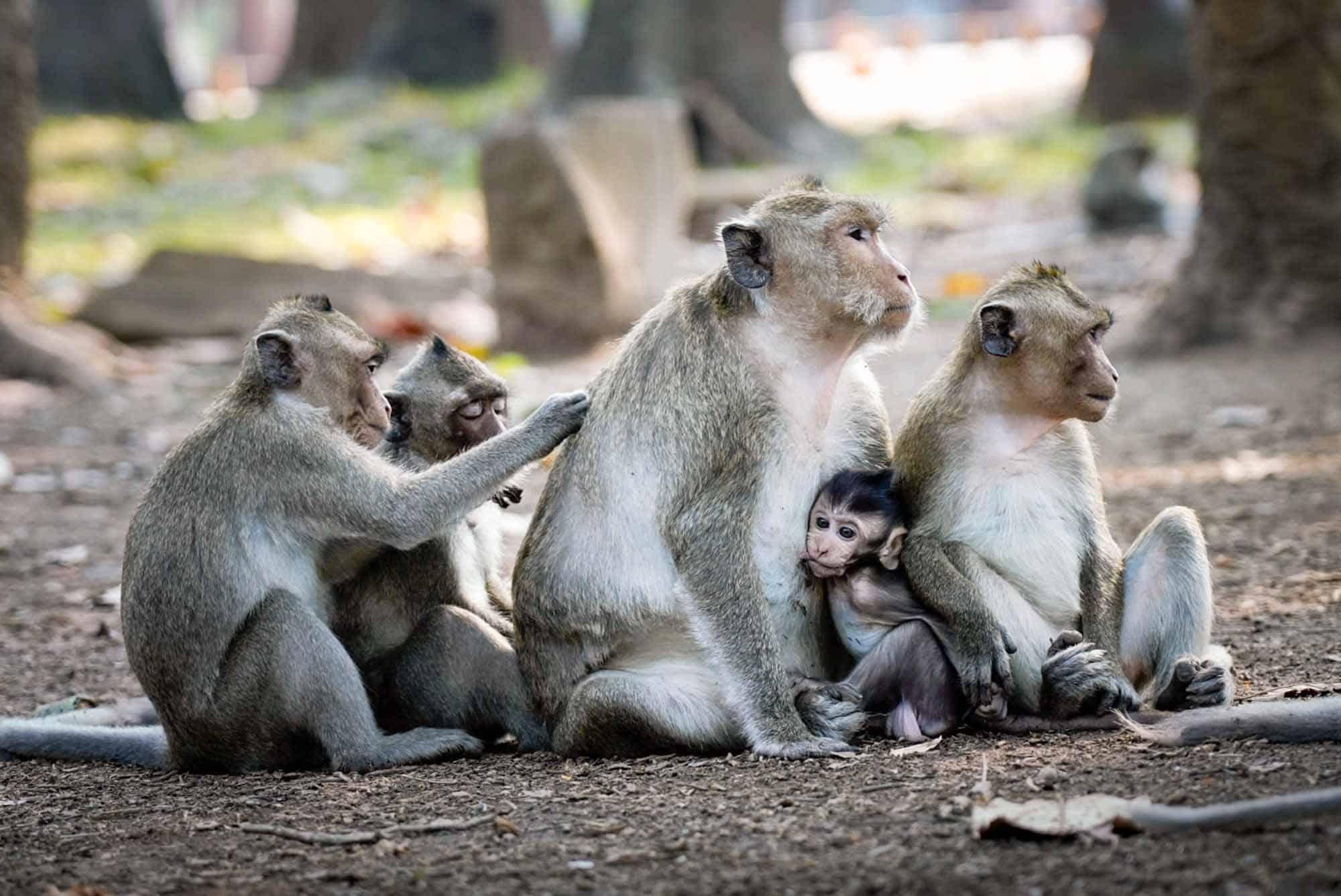 Group of Monkeys at Bayon Temple