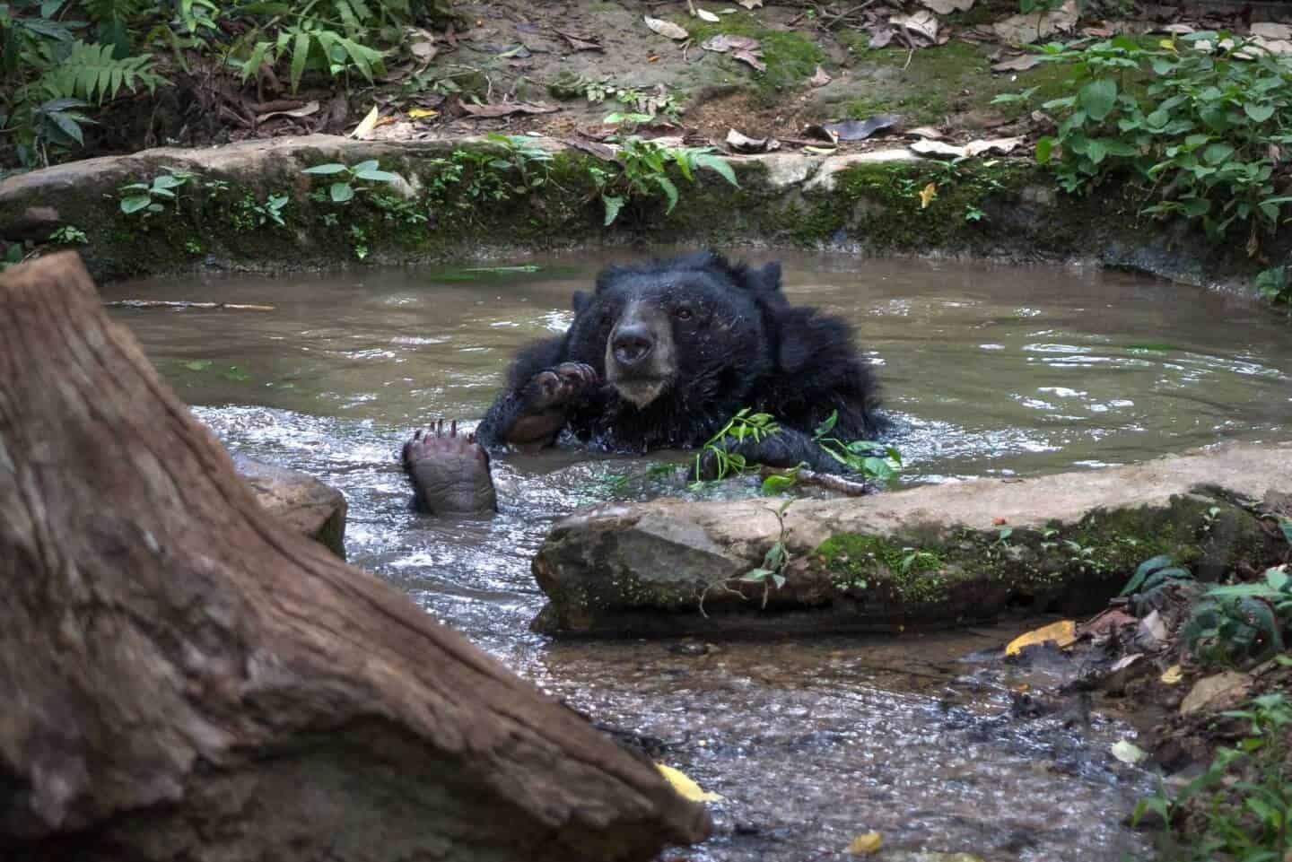 A moon bear relaxing poolside at the Kuang Si Bear Sanctuary.