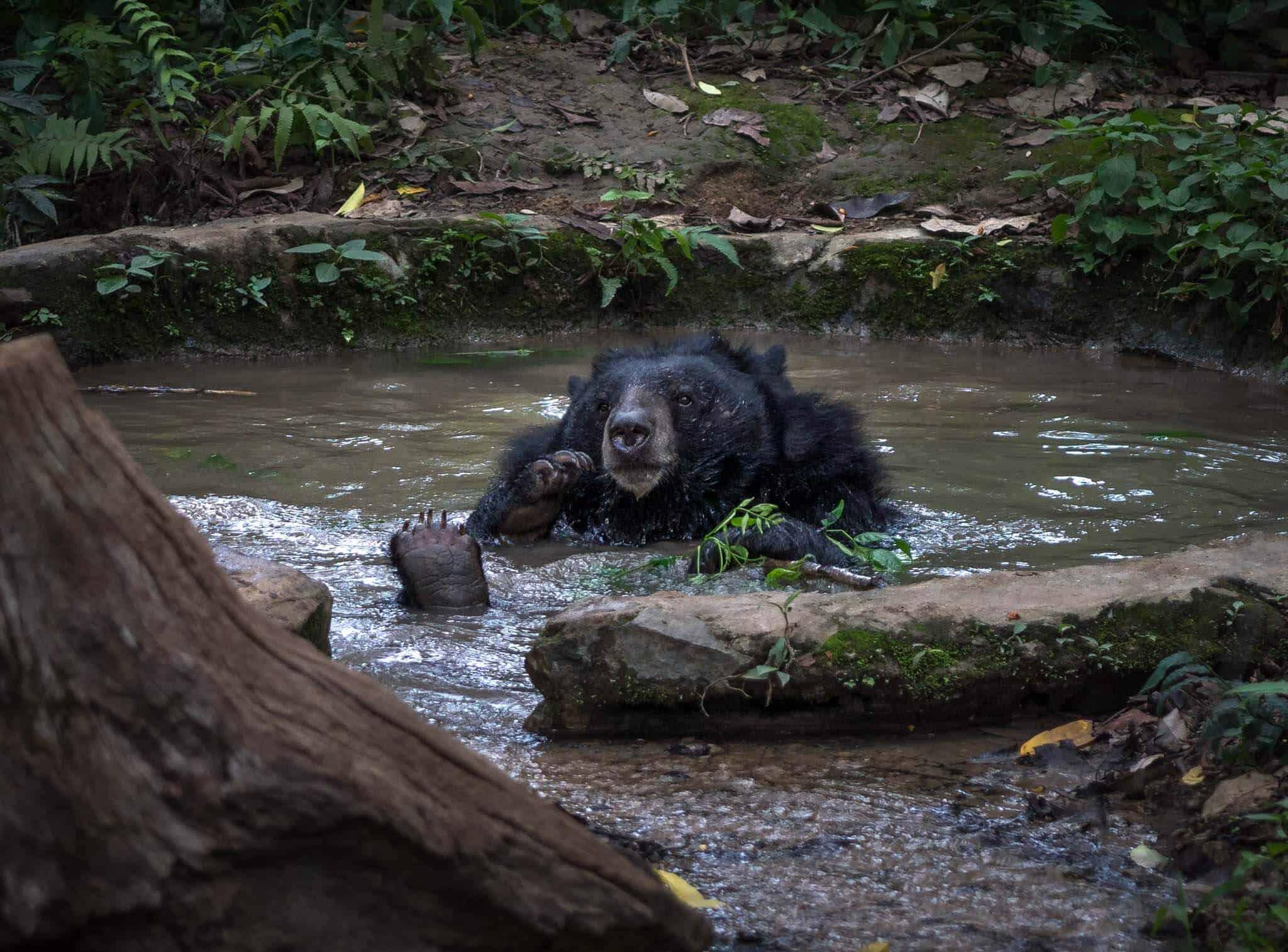 Moon Bear at Kuang Si Falls, Laos