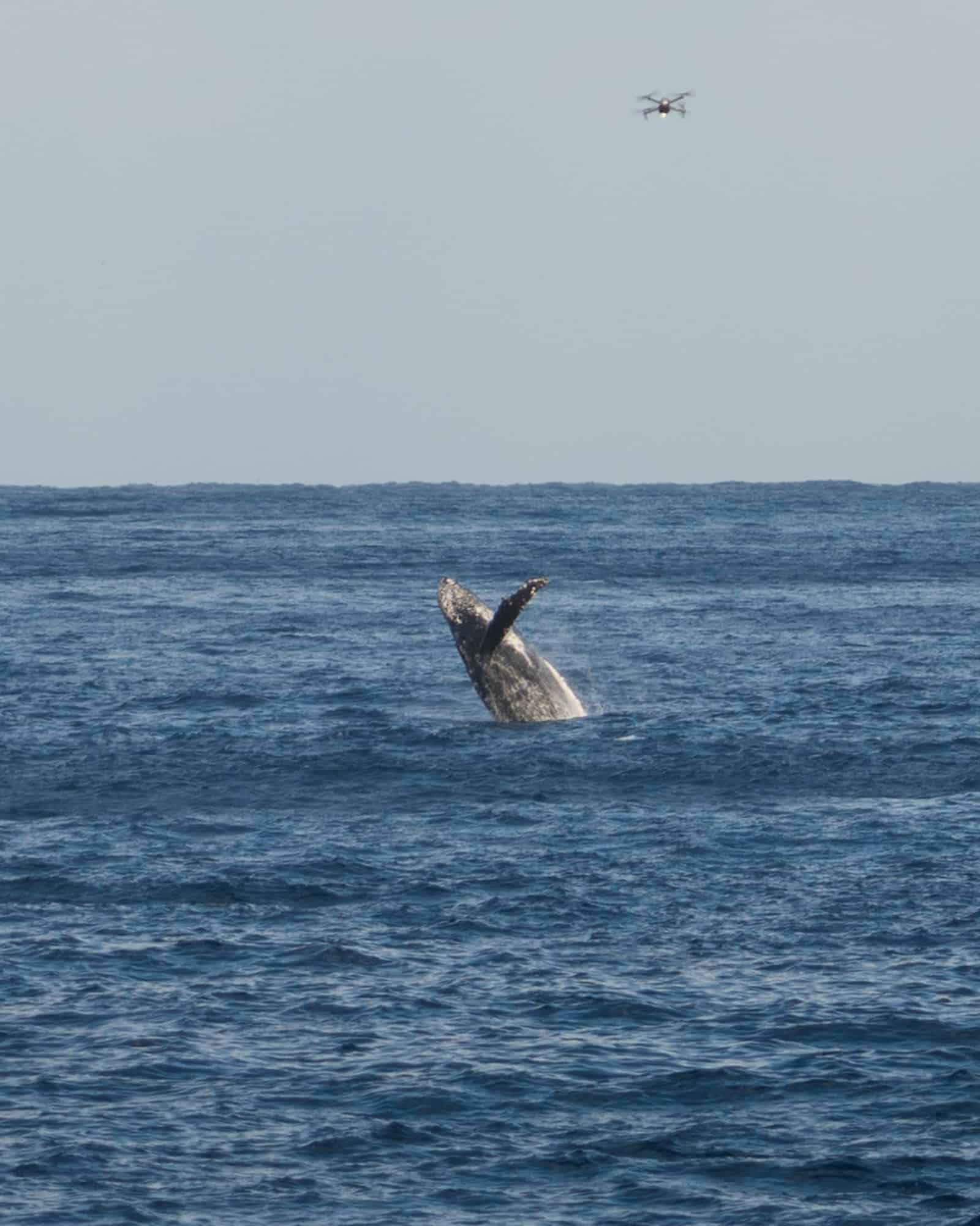A humpback whale breaches the water on the Big Island.