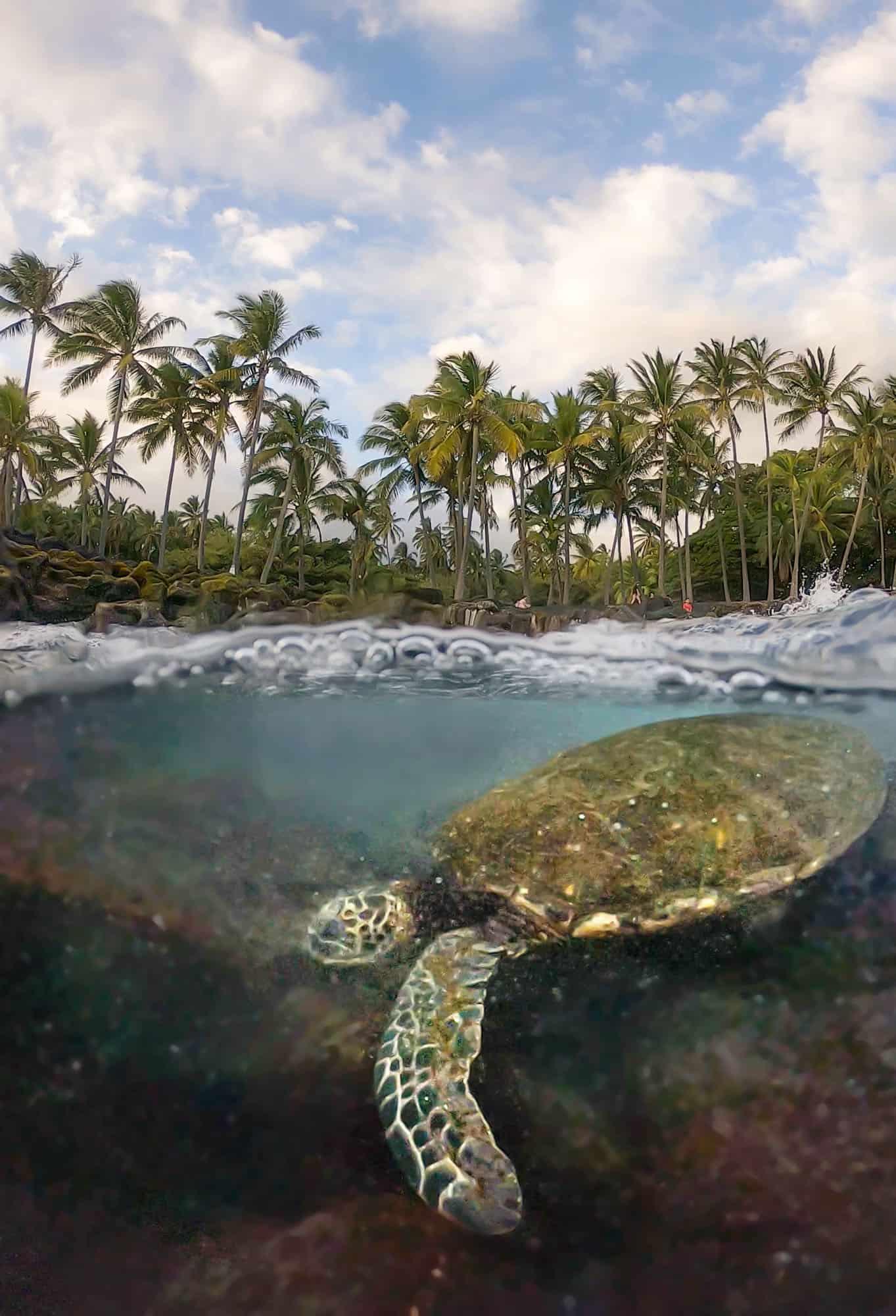 A green sea turtle swims along the black sand beach of Big Island.