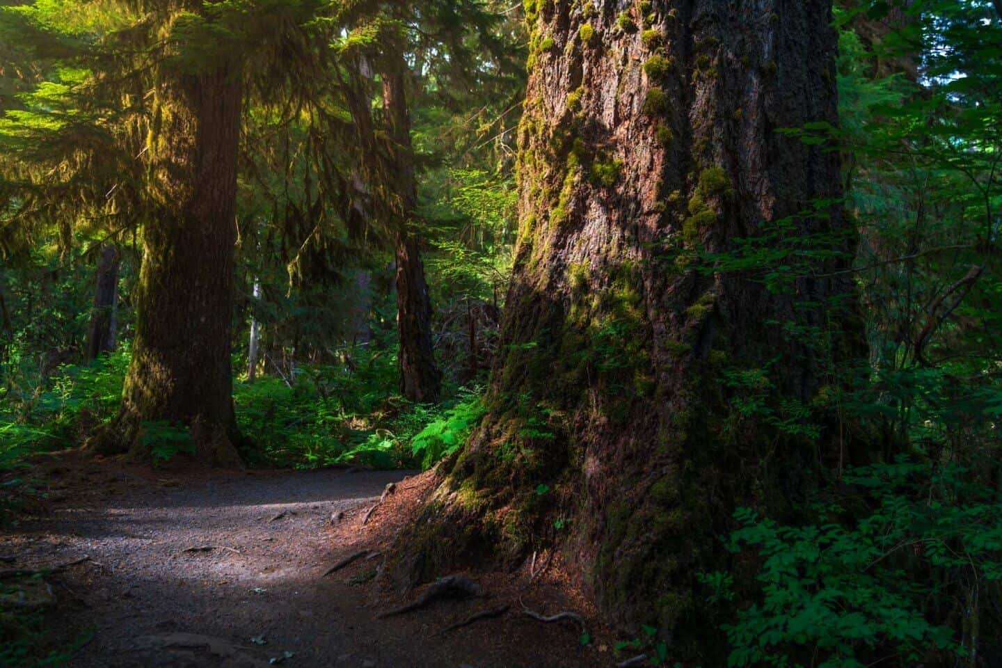 A tree bathes in light in Quinault Rainforest, Olympic National Park, Washington