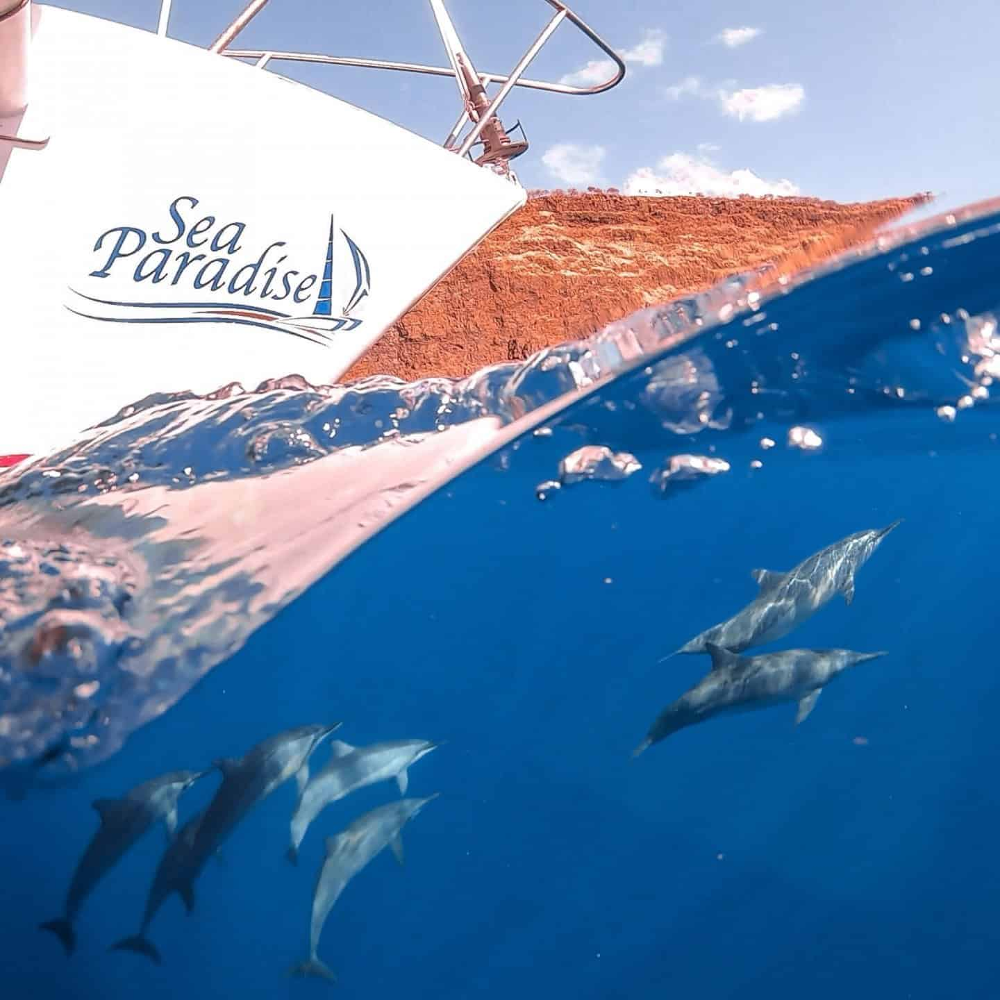 A pod of spinner dolphins swim under the Sea Paradise boat at Captain Cook Monument.