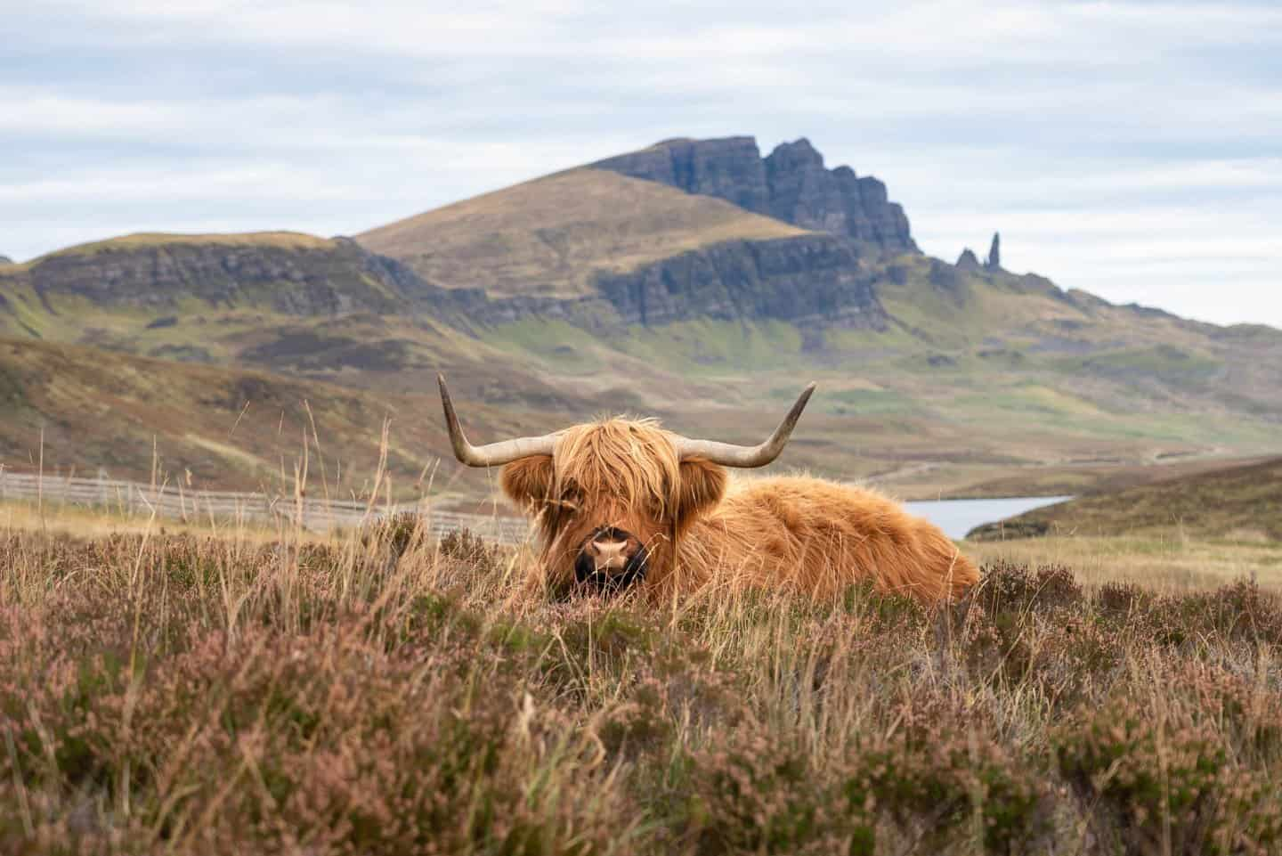A gorgeous highland cow modeling in front of iconic Storr on the Isle of Skye.