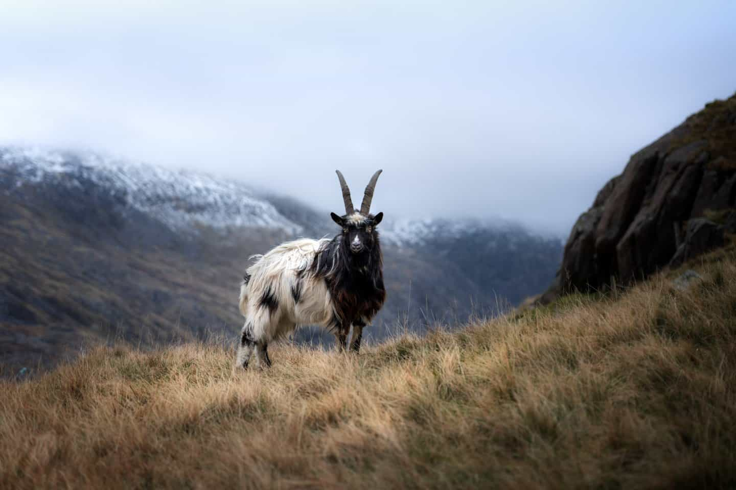 Mountain goats providing some motivation to keep hiking at the Pyg Track in Snowdonia.