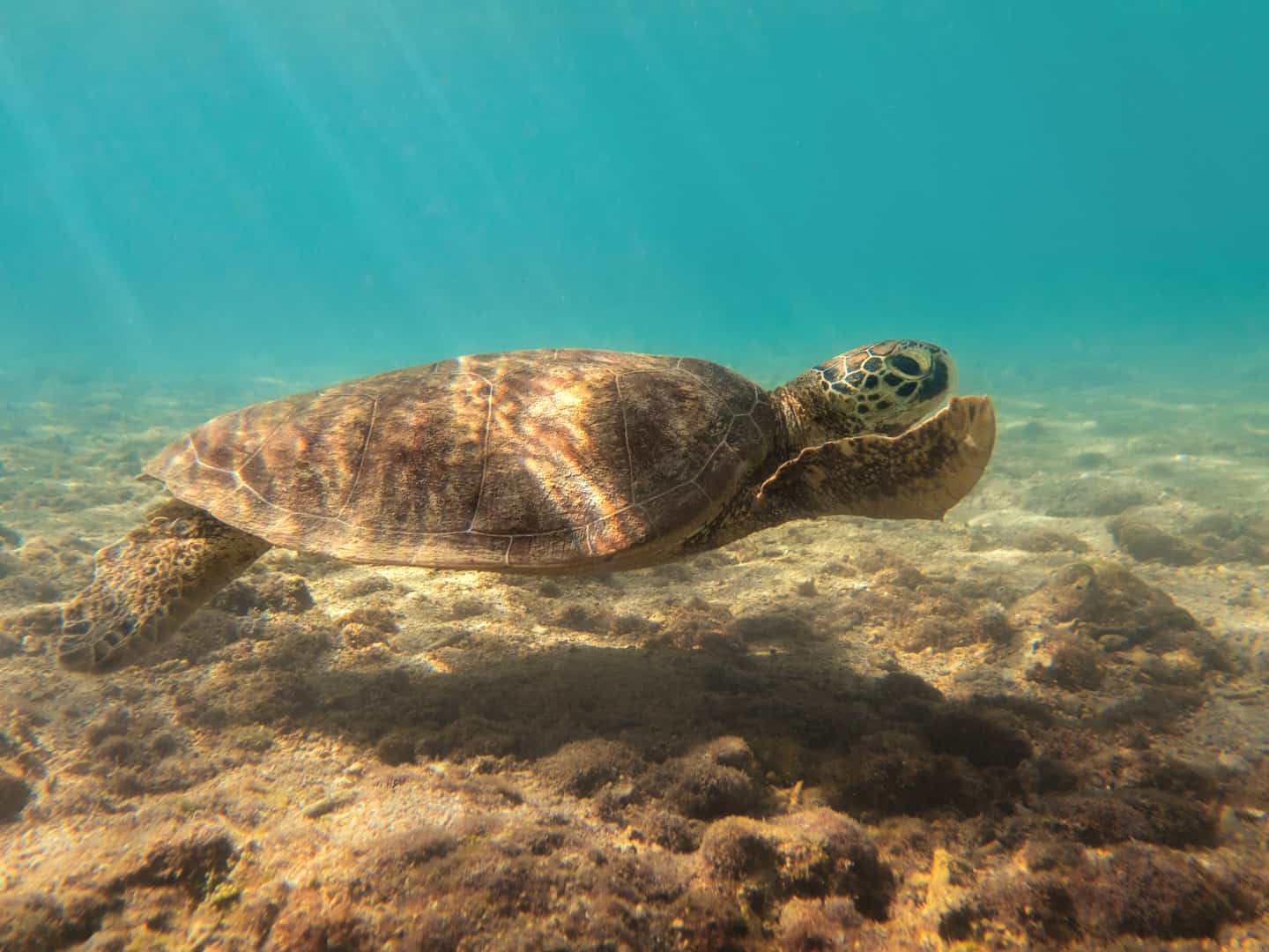 An underwater image of a green turtle swimming just off the beach of Low Isles, Cairns, Australia