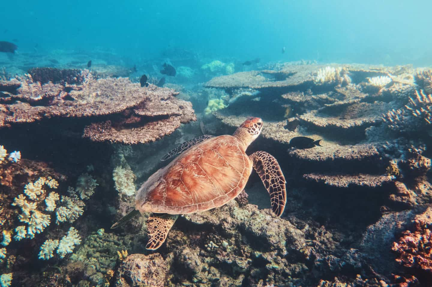 A turtle swimming over coral seen while diving on the Great Barrier Reef Cairns