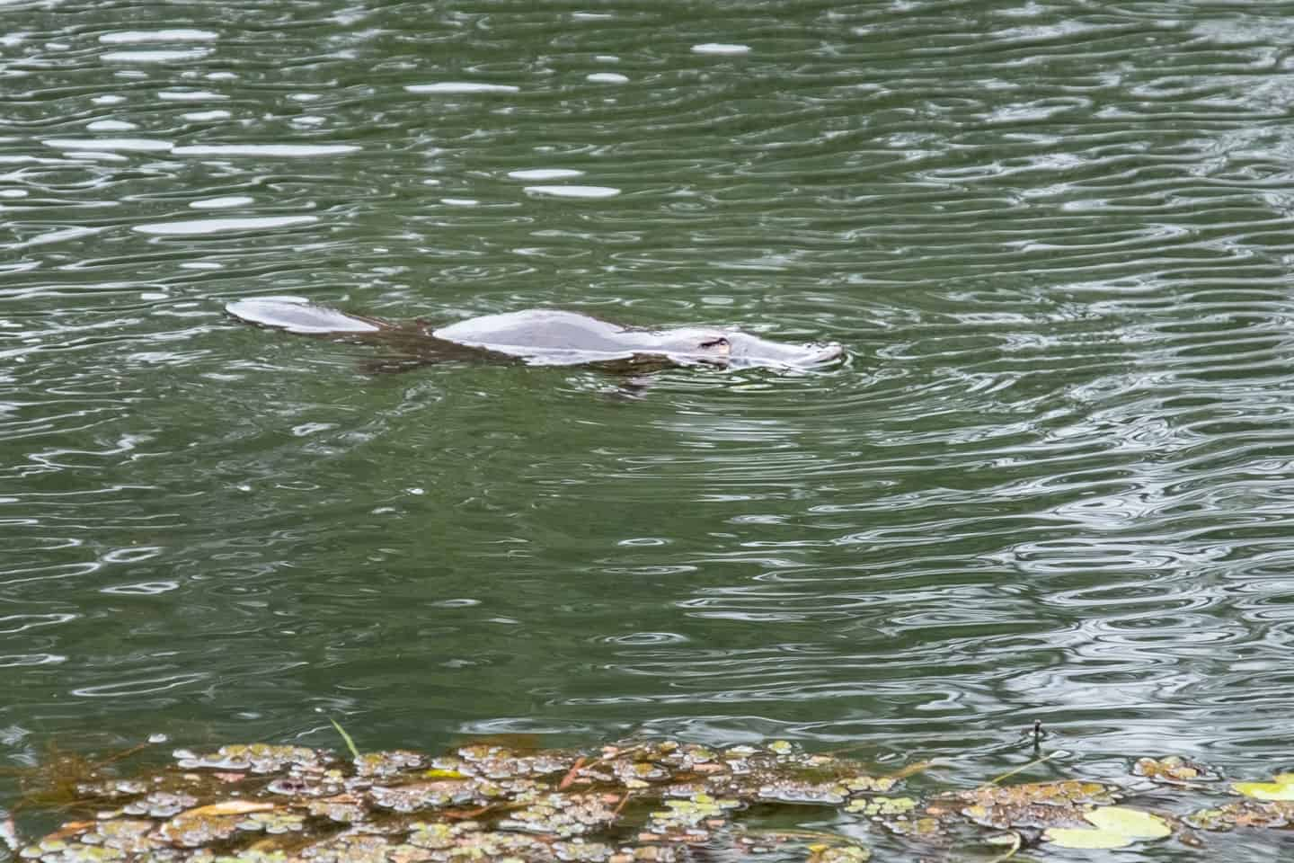 Things to do in Cairns; spot a platypus in the water at Atherton Platypus Park, Tarzali Lakes