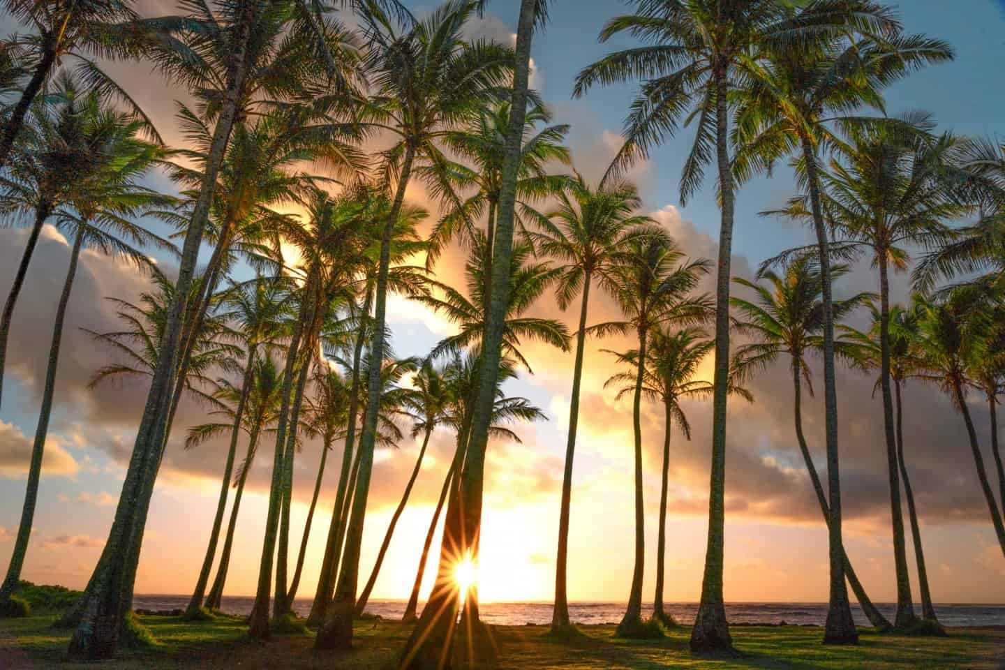 Sunrise photography of palm trees from Kapaa in Kauai.