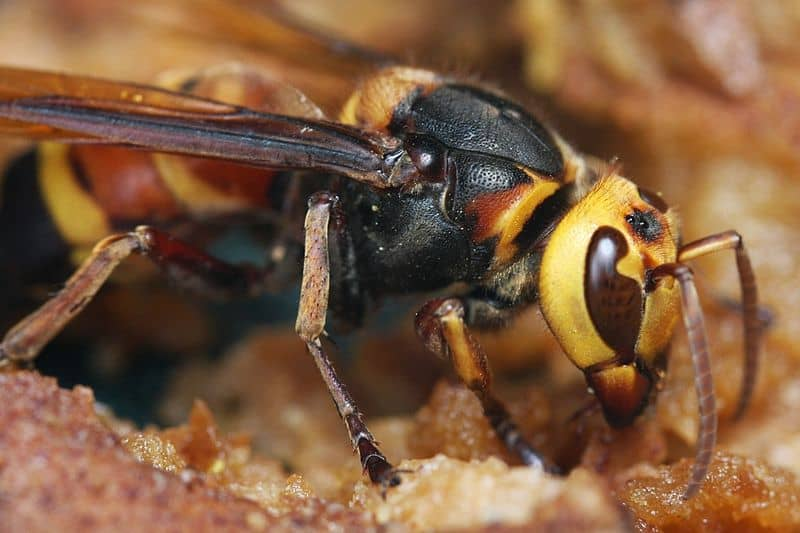 "Asian Giant Hornet aka ""Murder Hornet"""