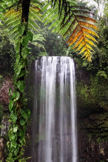 Millaa Millaa Falls, framed by a vine-covered palm tree, is the most famous waterfalls near Cairns.
