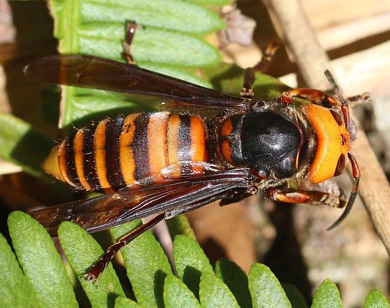 "Body of an Asian giant hornet aka ""murder hornet"", an invasive wasp species recently discovered in Canada and Washington"
