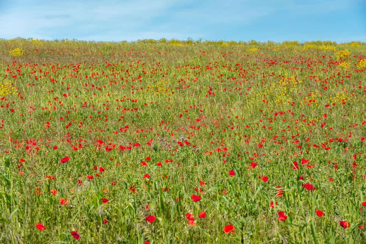 Red poppies and other yellow and purple wildflowers add brights bursts of colour to a field at the White Cliffs of Dover