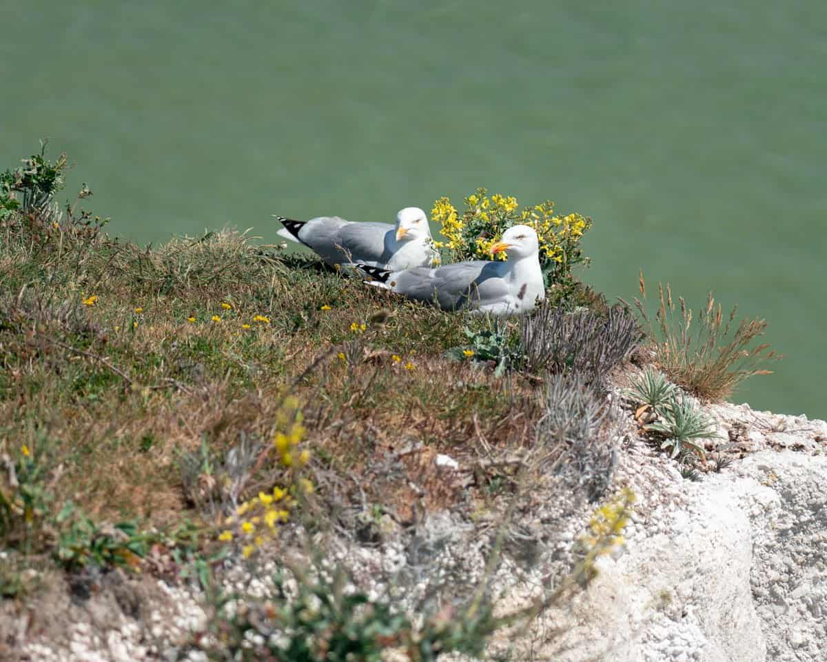 Nesting gulls at the White Cliffs of Dover.