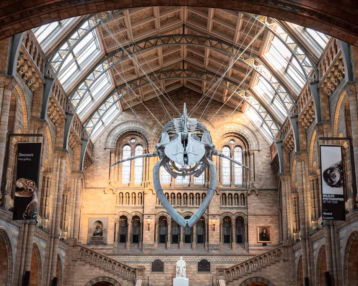 The enormous blue whale skeleton hangs above Hintze Hall at the Natural History Museum, London