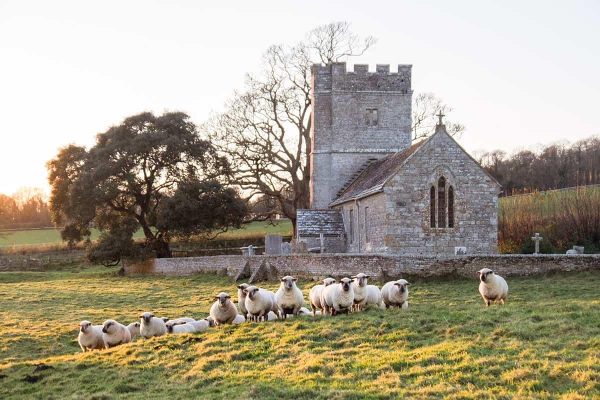 12th century Whitcombe Church with a flock of sheep in front of it.