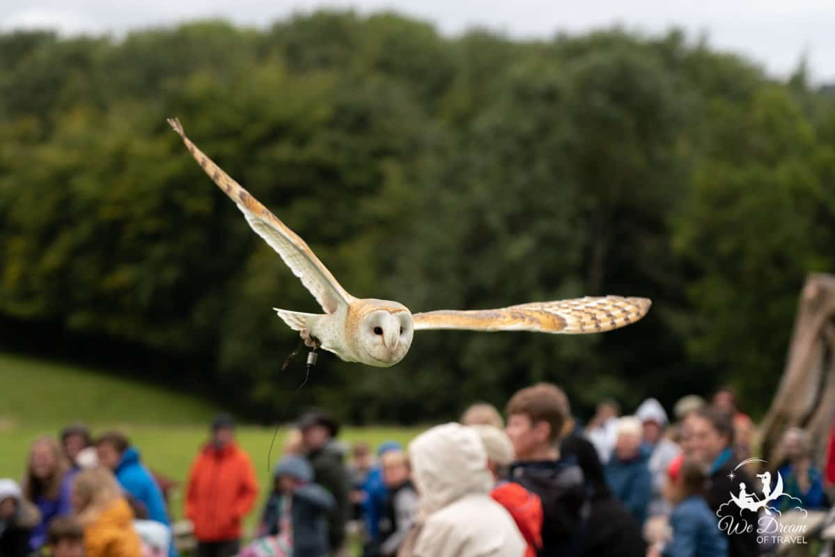 A barn owl glides just above spectators at the National Bird of Prey Centre.
