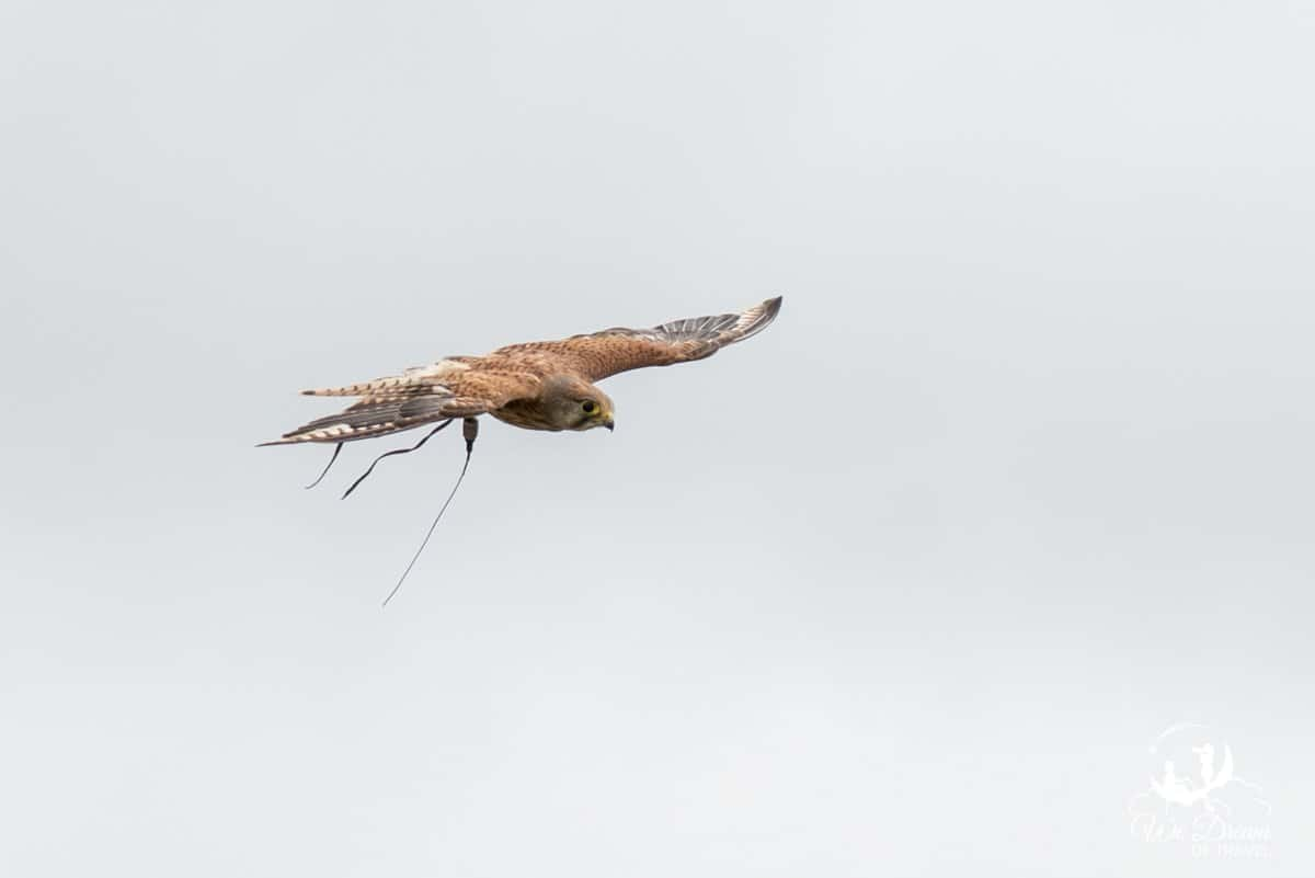 A kestrel soaring during a flying demonstration at the National Bird of Prey Centre York