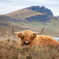 Highland Cow Wildlife Photography Greeting Cards