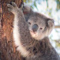 Koala Wildlife Photography Greeting Cards