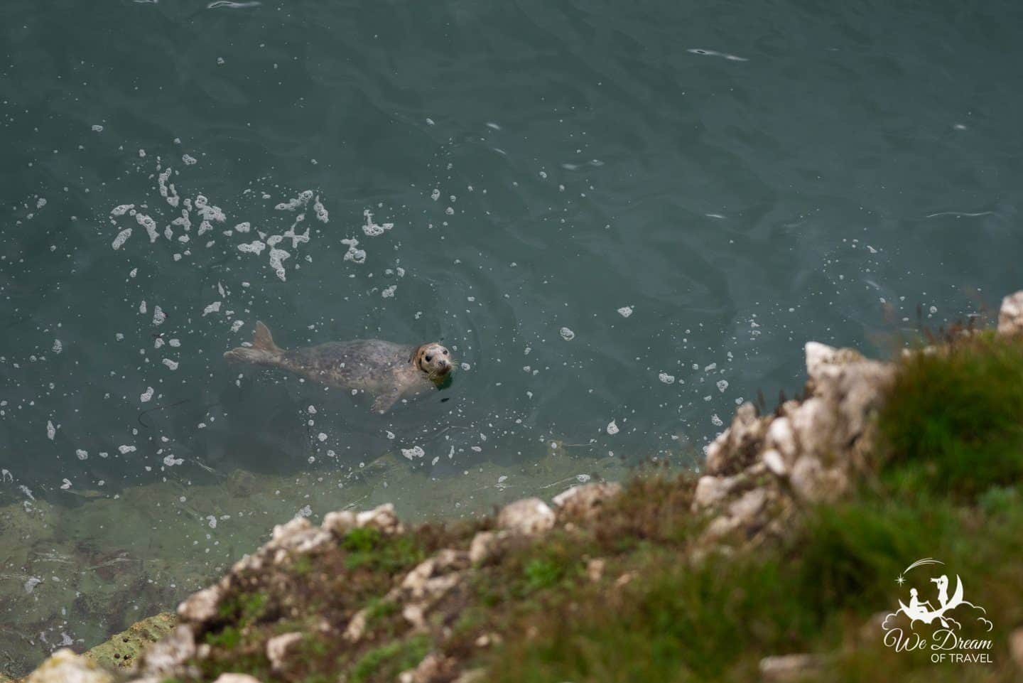 Seal at Flamborough Head