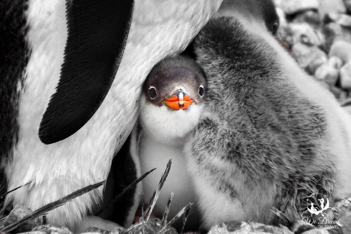 Close up of a baby gentoo penguin in Antarctica