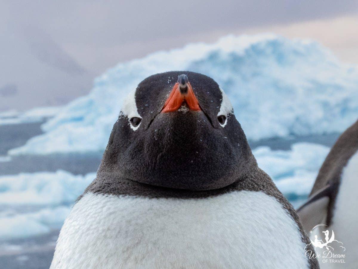 Close up of a gentoo penguin in Antarctica