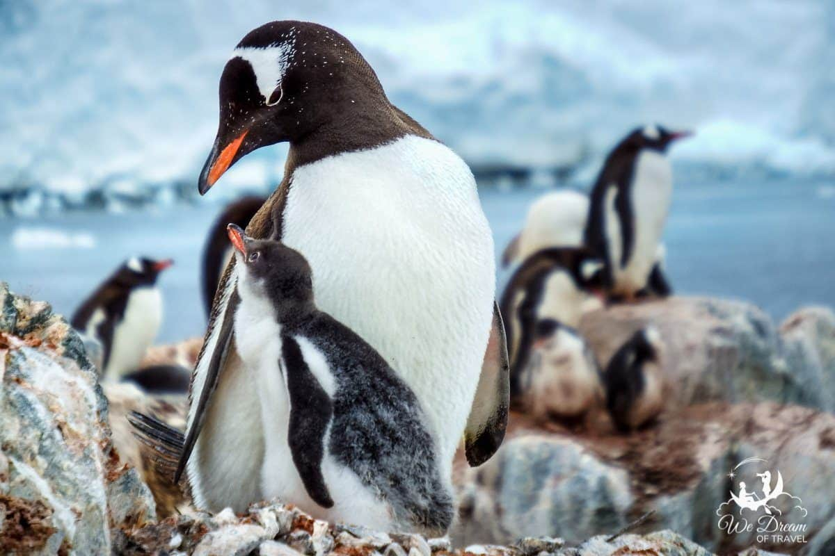 A baby gentoo penguin looking up at its parent in Antarctica