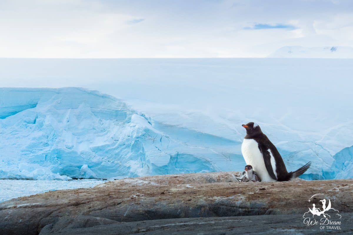 A parent and baby gentoo penguin against a backdrop of ice in Antarctica