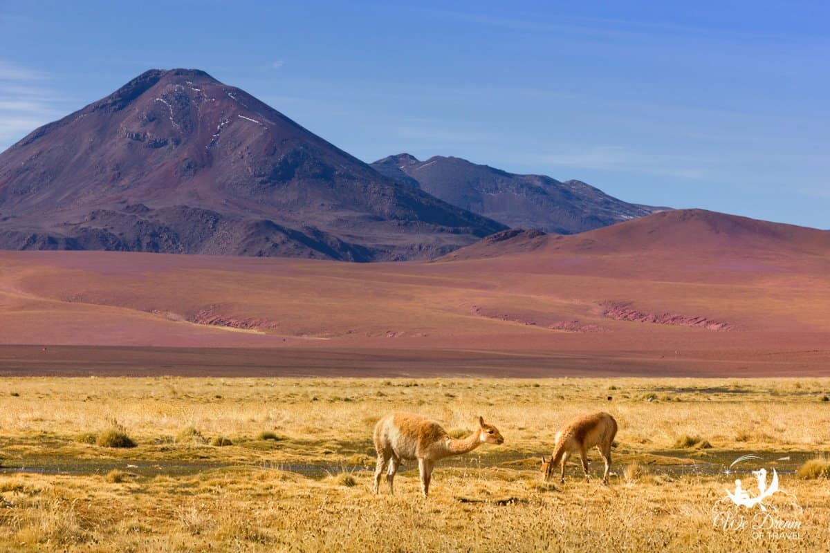 Vicuña graze in front of an otherworldly landscape in the Atacama Desert, Chile.