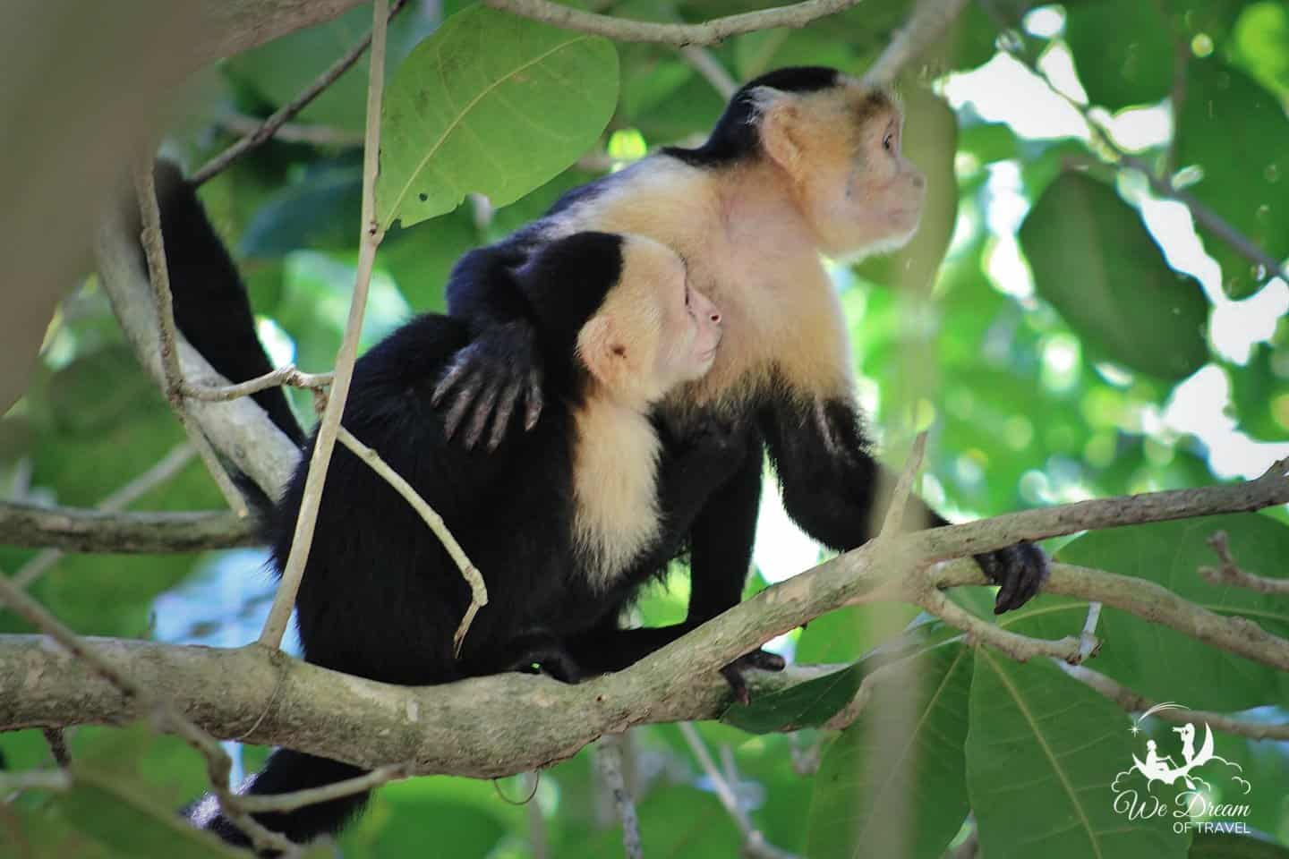 Two monkeys share an embrace in the jungle of Costa Rica.