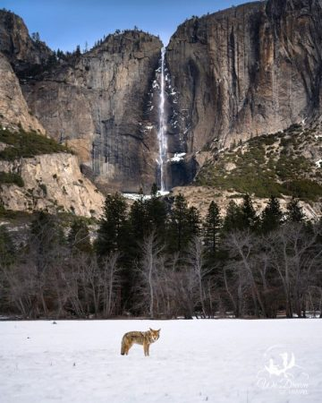 A coyote poses in front of Yosemite Falls.