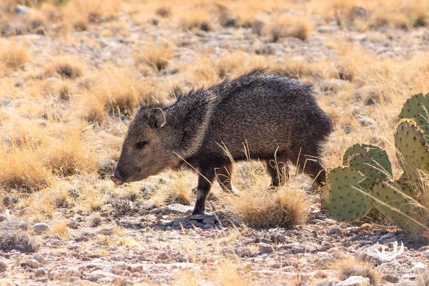 This smiling javelina was captured from the Smith Spring trail from Frijole Ranch in Guadalupe Mountains NP.