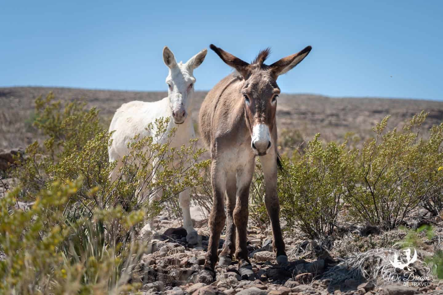 Desert mules pose for a photo.