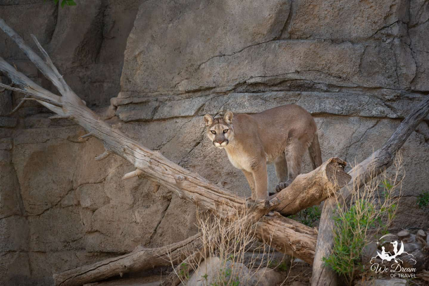 A mountain lion gives me a glare at the Living Desert State Park in Carlsbad.