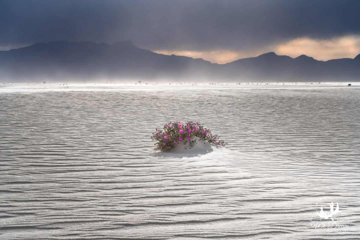 Desert wildflower photography in White Sands National Park.