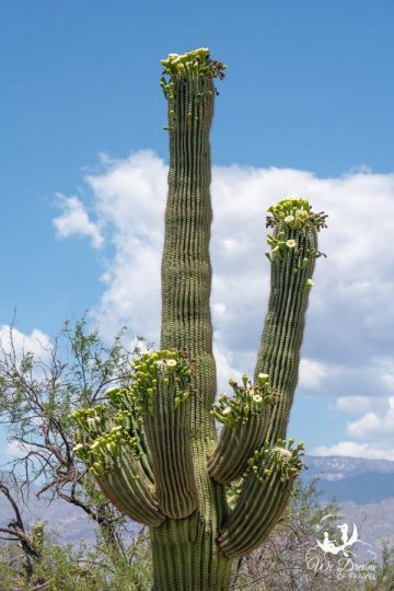 The best time to visit Saguaro NP is in mid-May when the cacti are in bloom!