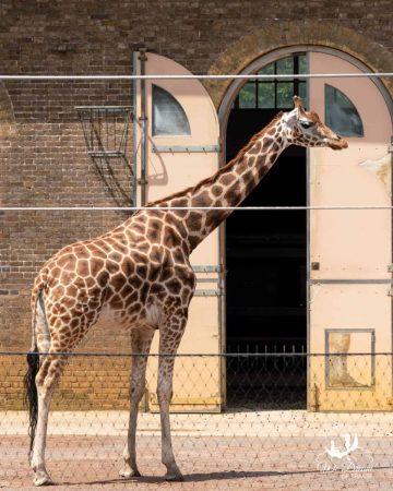 A giraffe at ZSL London Zoo in Regent's Park.