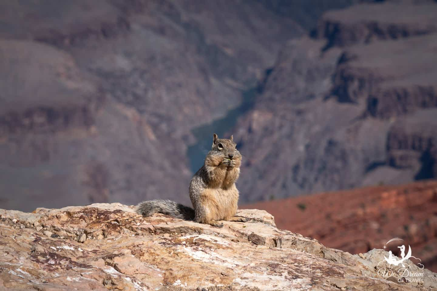 An adorable squirrel in front of the Colorado River from the Grand Canyon South Rim.
