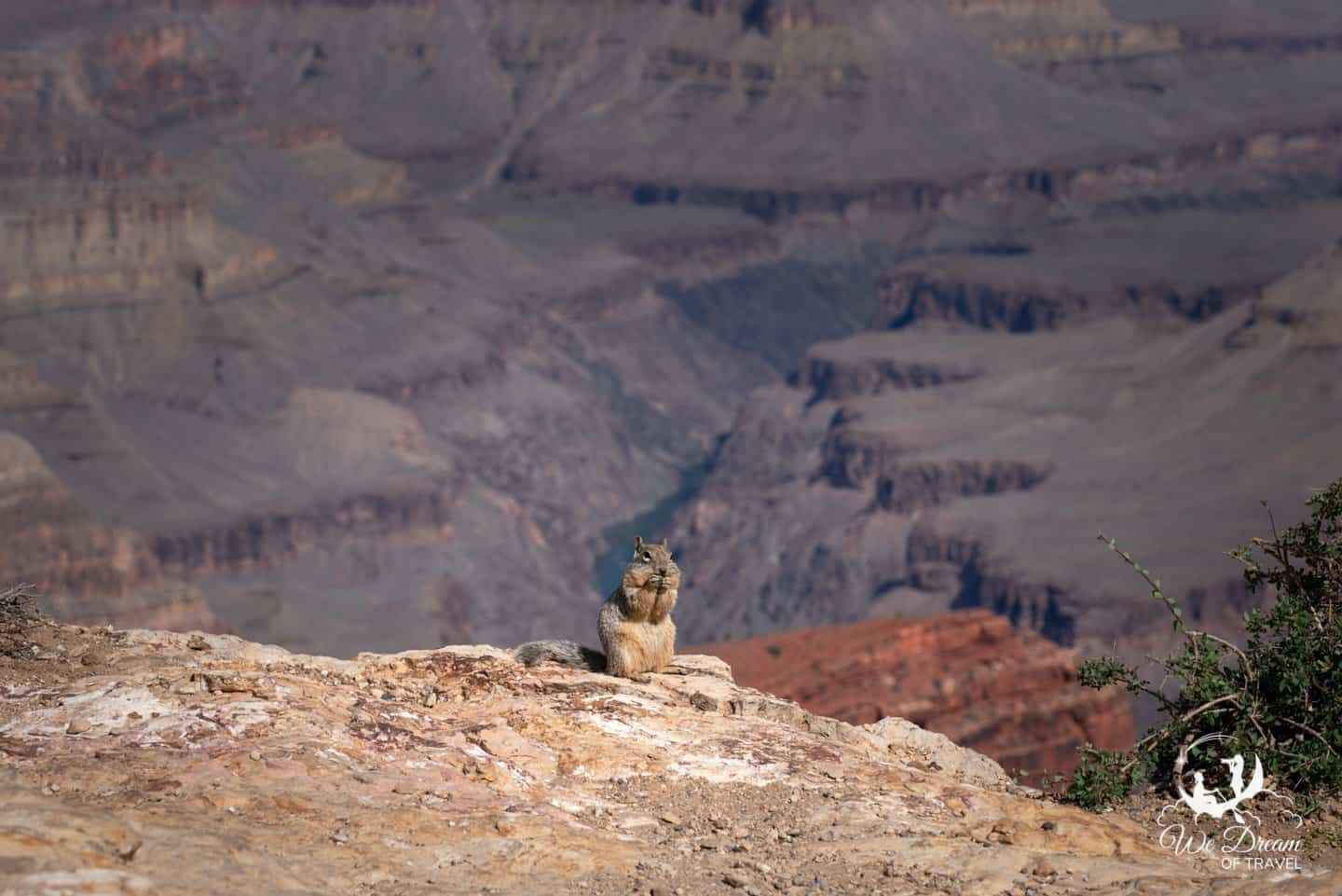 A cheeky squirrel enjoys his lunch from Pima Point near Hermit's Rest in the section of Grand Canyon South Rim.