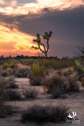 Brooding sunset light surrounds a lone Joshua Tree from White Tank Campground.