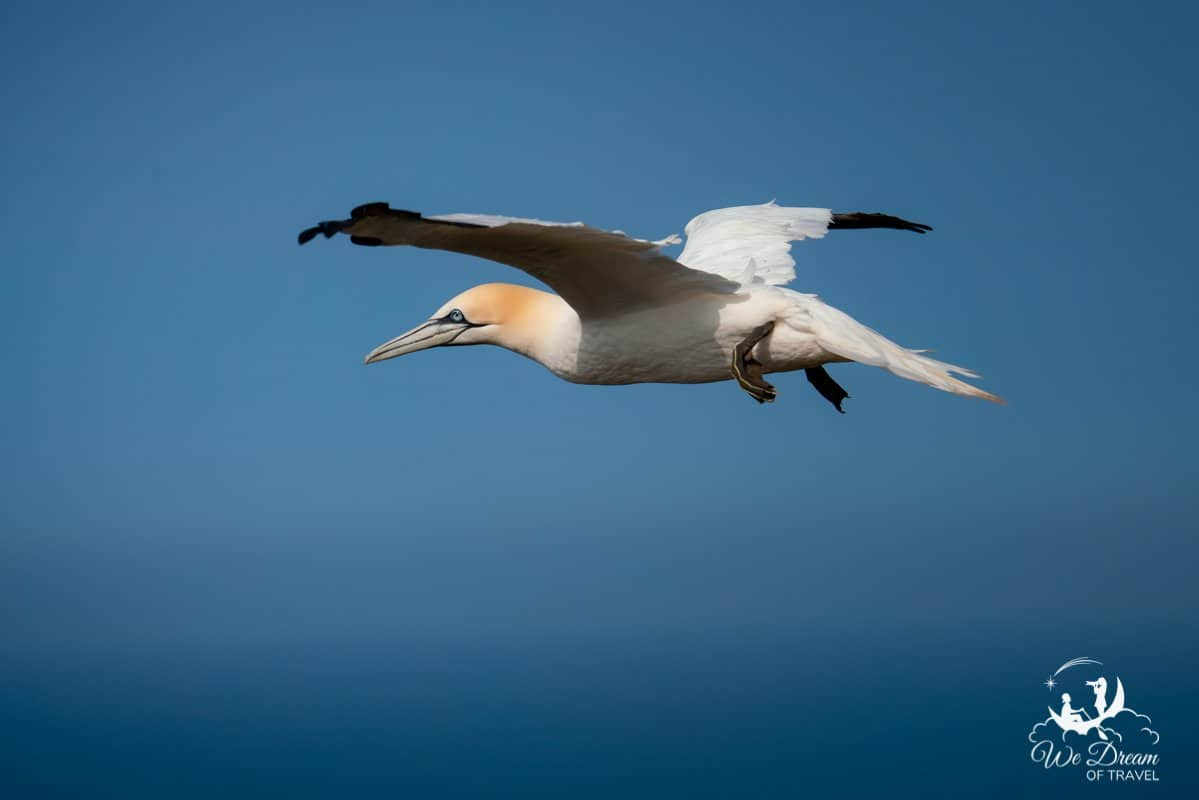 A gannet in flight over Bempton Cliffs in Yorkshire