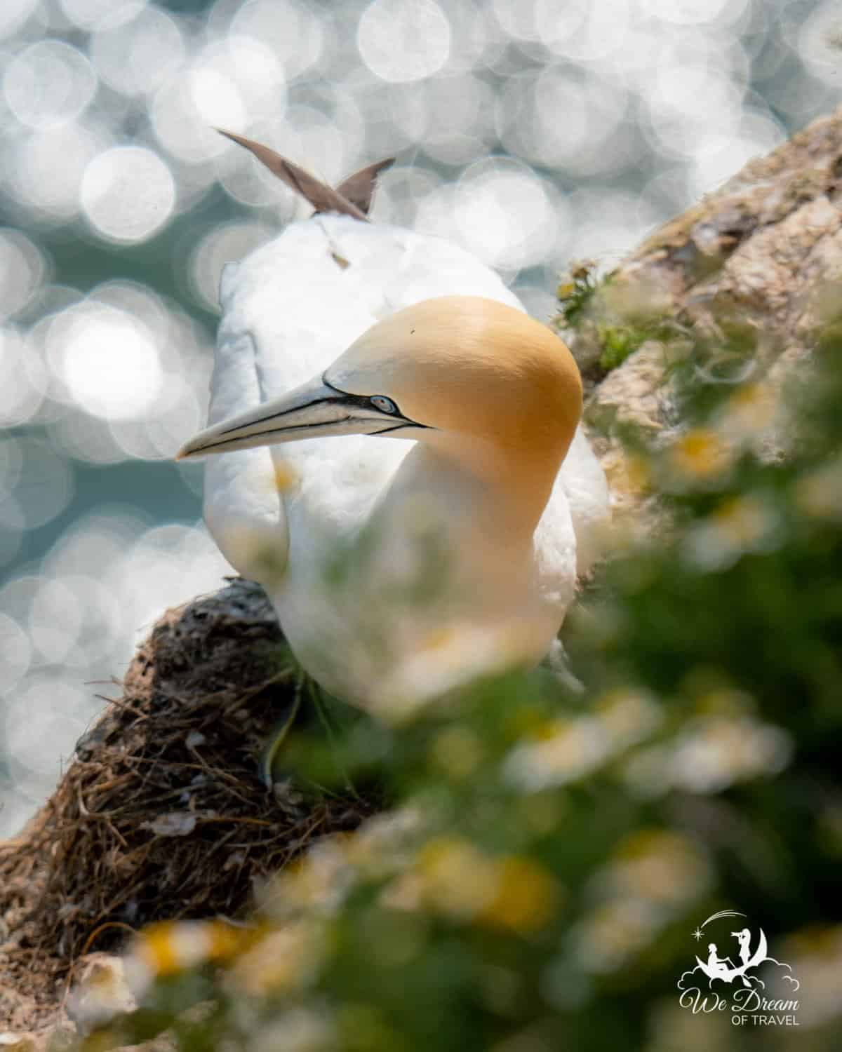 A gannet nested on the cliff at RSPB Bempton Cliffs in Yorkshire