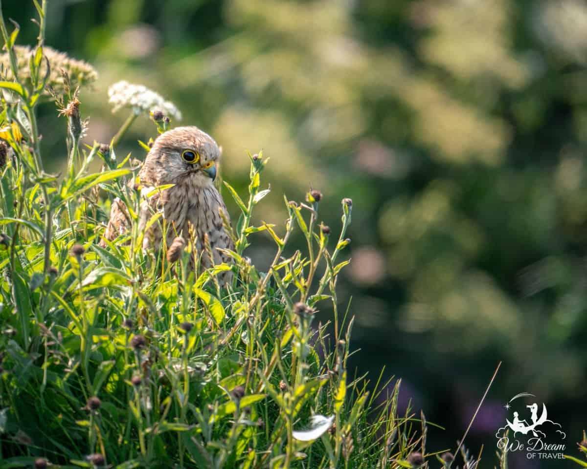 A young kestrel in long grass at RSPB Bempton Cliffs