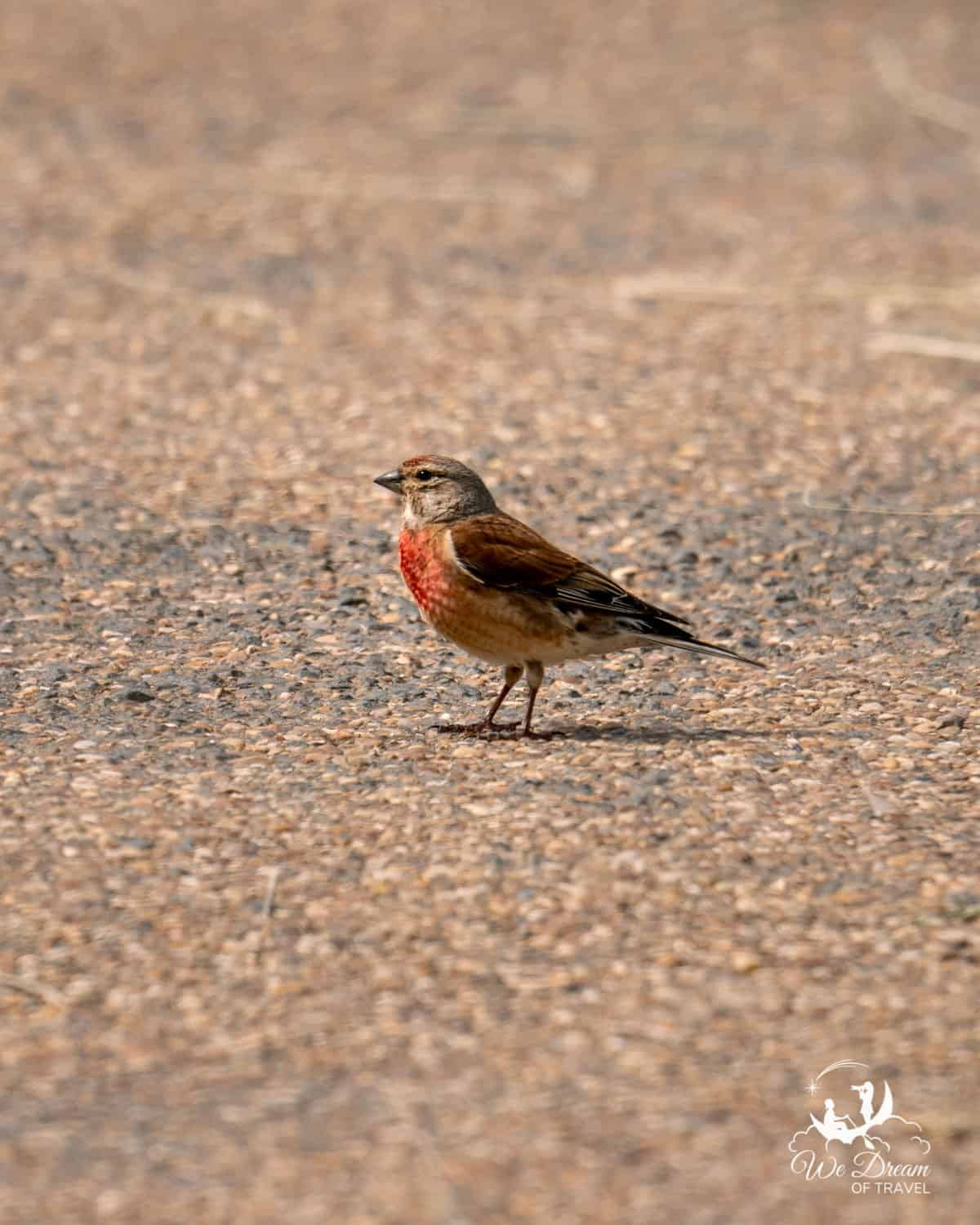 A male linnet at RSPB Bempton Cliffs in Yorkshire
