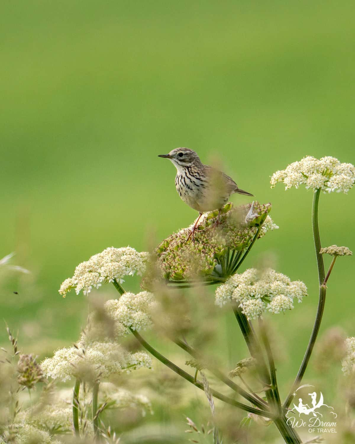 A meadow pipit at RSPB Bempton Cliffs in Yorkshire