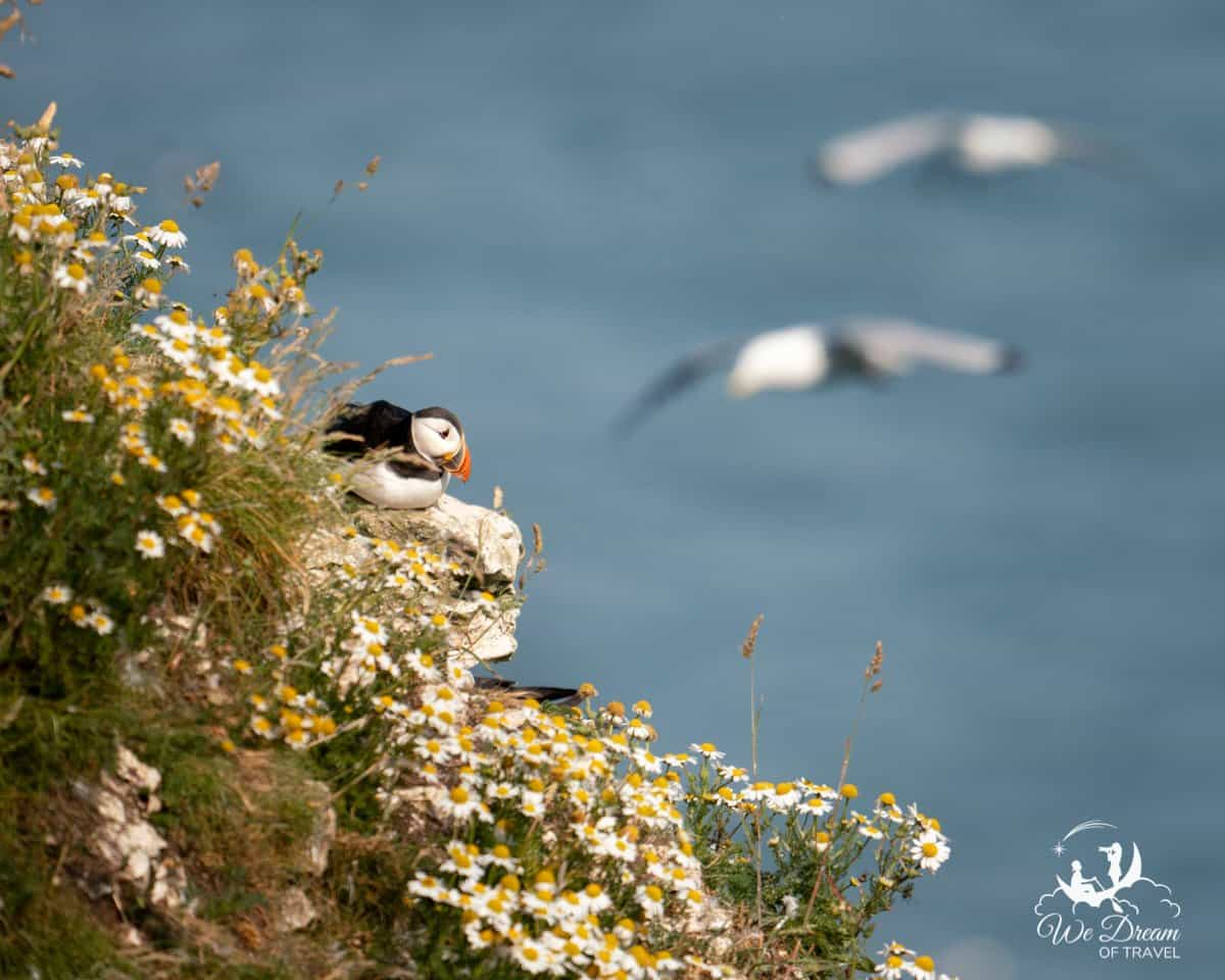 A puffin on a ledge amongst daisies on the cliffs at RSPB Bempton i Yorkshire