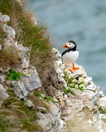 A puffin on a cliff ledge at North Landing Flamborough Head
