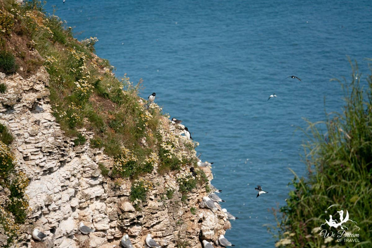 Puffins and other seabirds on a cliff at Bempton Yorkshire photographed at a focal length of 200mm